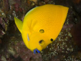 Closeup of a Lemonpeel Angelfish  Bali  Indonesia