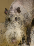 Bearded Pig from Borneo at the Henry Doorly Zoo  Nebraska