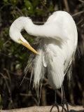 Closeup Portrait of a Great Egret  Sanibel Island  Florida