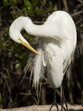 Closeup Portrait of a Great Egret  Sanibel Island  Florida
