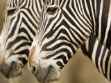 Closeup of Two Grevys Zebra&#39;s Faces