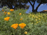 California Poppy Blooming in the Spring