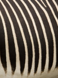 Closeup of a Grevys Zebra's Coat