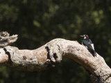 Acorn Woodpecker on a Tree Branch  California