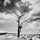 Lone Tree no 2  Peak District  England