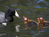 American Coot Adult with Chicks  San Diego  California