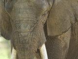African Elephant at the Henry Doorly Zoo in Omaha  Nebraska