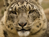 Closeup of a Captive Snow Leopard  Massachusetts