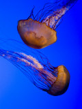 Closeup of Two Captive Jellies in an Aquarium  Boston  Massachusetts
