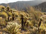 Cholla Cactus and Ocotillo Plants in the Desert Landscape  California