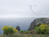 Brown Pelicans Fly over Santa Cruz Island  California