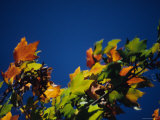 Colorful View of Maple Leaves in Autumn  Pittsburgh  Pennsylvania