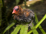 Closeup of an American Coot Chick  San Diego  California
