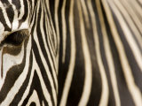 Closeup of a Grevys Zebra's Face and Coat