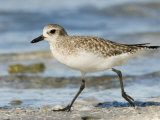 Closeup of a Black-Bellied Plover  Sanibel Island  Florida