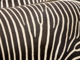Closeup of Two Grevys Zebras' Coats