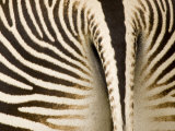 Closeup of a Grevys Zebra's Rear End