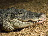 American Alligator Shows his Teeth as He Lays on Wood Chips  Henry Doorly Zoo  Nebraska
