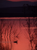Canada Goose on a Placid Lake at Sunset  Pennsylvania