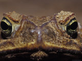 Close-Up of a Scowling  Grumpy  Ugly Cane Toad's Face  Australia