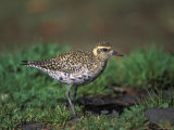 Closeup of a Pacific Golden-Plover  Hawaii