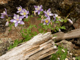 Colorado Columbines Blooming in Early July at 10 000 Feet