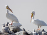 American White Pelicans on the Salton Sea  California