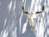 Animal Skull and Horns Hanging on Blue Wall  California