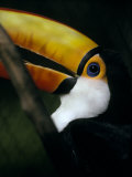 Colorful Toco Toucan's Blue Eye and Yellow  Orange and Red Beak