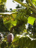 Bunch of Bananas Hanging from Banana Tree  Belize