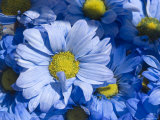 Close View of Dyed Blue Dasies  Ventura  California