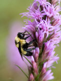 Bombus Bumblebee on a Purple Gayfeather at Spring Creek Prairie