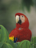 Closeup of a Macaw