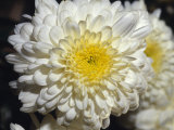 Closeup of a Chrysanthemum Flower and Petals  North Carlton  Australia