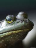 Bullfrog Sits on a Dock