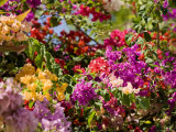 Bougainvillea Flowers of Mixed Colors  French Polynesia