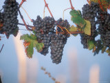 Barbera Grapes Ready for Harvest South of Tortona in Piemonte  Italy