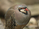 Chukar Partridge at the Sunset Zoo  Kansas