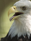 Bald Eagle from the Sedgwick County Zoo  Kansas