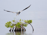 Brown Pelican Flies over a Red Mangrove  Belize