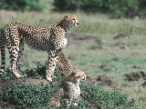 Cheetah and Her Cubs Standing on a Small Hill  Kenya