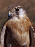 Australian Kestrel Head  Sharp Beak and Eye