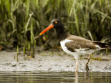 American Oystercatcher Foraging for Food  Tampa Bay  Florida