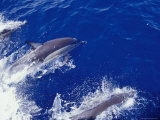 Common Dolphin Porpoises Play in a Boat Bow's Wake  Showing Blow Hole  Australia