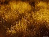 At Dawn Elegant Backlit Native Grasses Sprout from Desert Sand Dunes  Australia