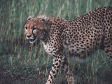 Cheetah Stalking Through Tall Grasses  Kenya