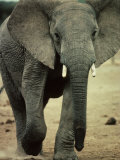 Closeup of a Juvenile African Elephant