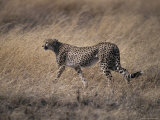 Cheetah Stalks its Prey Preparing to Attack with Great Speed  Serengetti  Tanzania