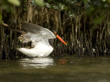 American Oystercatcher with Mangrove Trees  Tampa Bay  Florida