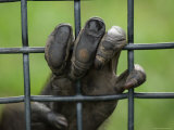 Chimpanzee Holds Onto the Bars of its Cage  Sunset Zoo  Kansas